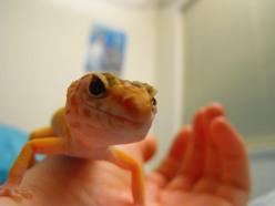 leopard-gecko-information